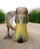 Geek Shock #231 - The Philly Duck